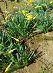 narcissus buds