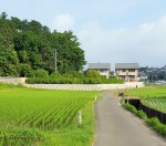 rice paddy (3)