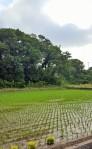rice paddy4 (2)