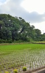 rice paddy4 (2)