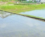 rice planted (2)