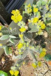 cactus flower open (2)