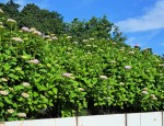 hydrangea hedge (2)