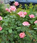 pink rose (2)