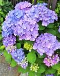 violet hydragea (2)