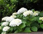 white hydragea (2)