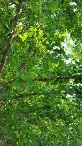 green gingko (2)